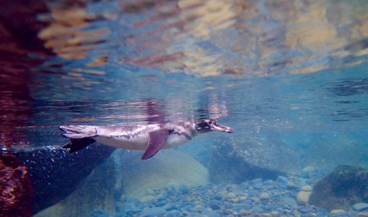How to see Galapagos penguins