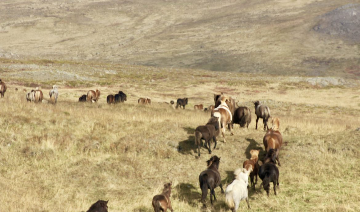 wild horses in Northern Iceland