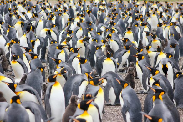king penguin rookery falkland islands